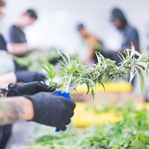Cannabis farm work